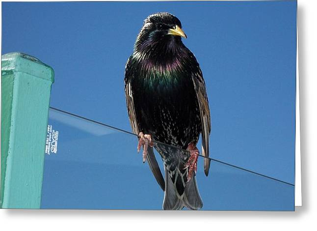 Observer Greeting Cards - Starling at Santa Monica Pier Greeting Card by Peter Mooyman