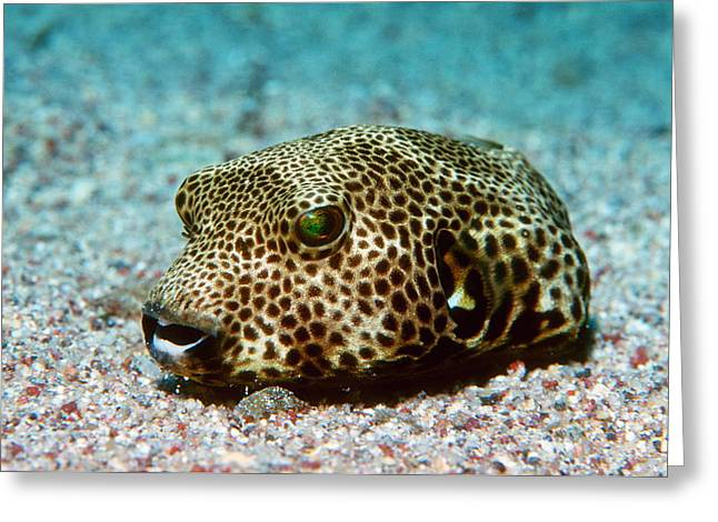 Toxicology Greeting Cards - Starry Pufferfish Greeting Card by Georgette Douwma
