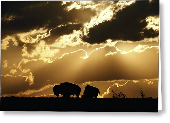 American Bison Greeting Cards - Stately American bison Greeting Card by George F. Mobley