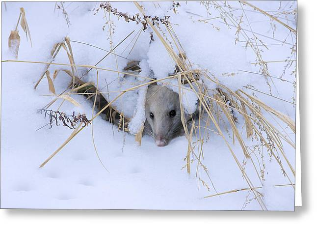 Possum Greeting Cards - Staying Warm Greeting Card by Ron Jones