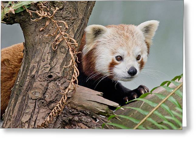 Critter Greeting Cards - Stealthy Red Panda Greeting Card by Greg Nyquist