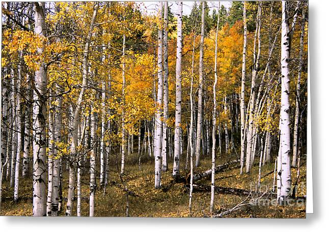 Steamboat Greeting Cards - Steamboat Aspens Greeting Card by Chris  Brewington Photography LLC