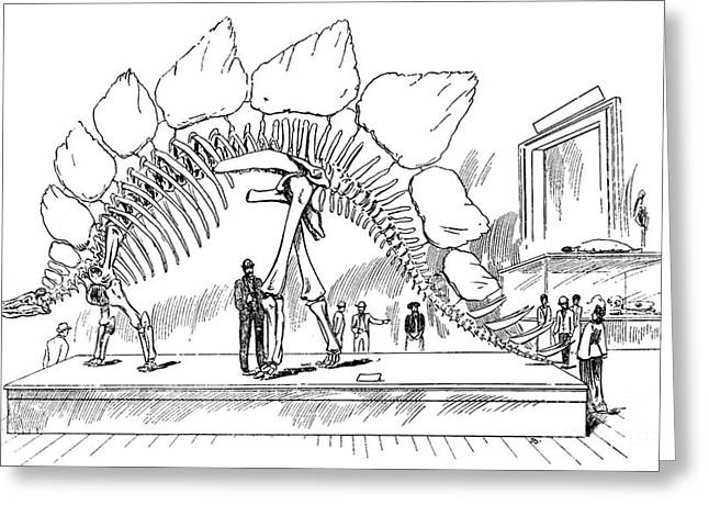 Chordata Greeting Cards - Stegosaurus Greeting Card by Science Source