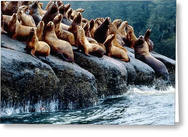 Sea Lions Greeting Cards - Stellar Sea Lions Greeting Card by David Nunuk