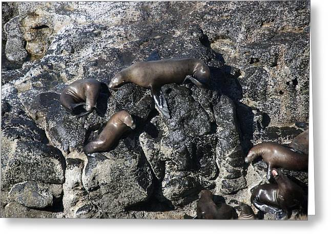 Water Flowing Greeting Cards - Steller Sea Lion - 0003 Greeting Card by S and S Photo