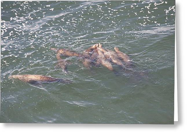 Sea Lions In The Ocean Greeting Cards - Steller Sea Lion - 0005 Greeting Card by S and S Photo