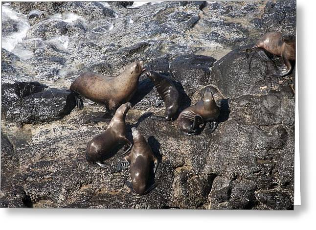 Sea Lions In The Ocean Greeting Cards - Steller Sea Lion - 0007 Greeting Card by S and S Photo
