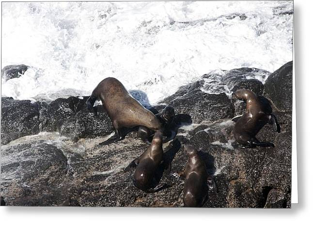 Sea Lions In The Ocean Greeting Cards - Steller Sea Lion - 0009 Greeting Card by S and S Photo