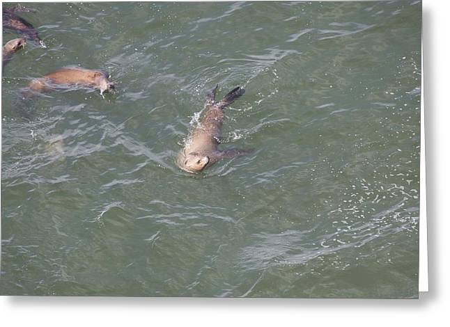 Sea Lions In The Ocean Greeting Cards - Steller Sea Lion - 0012 Greeting Card by S and S Photo
