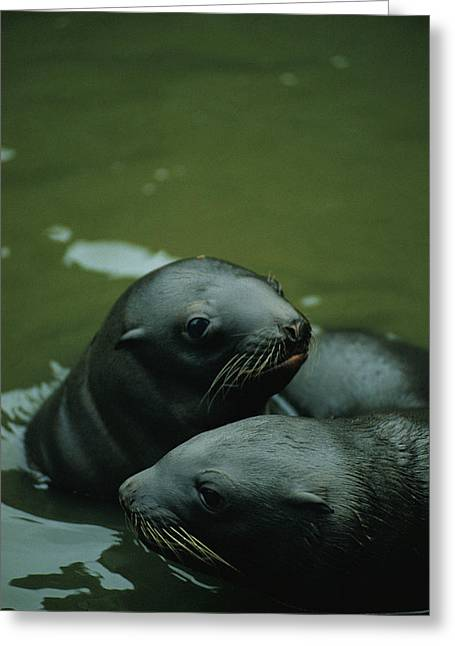 Steller Sea Lion Pups Eumetopias Greeting Card by Joel Sartore
