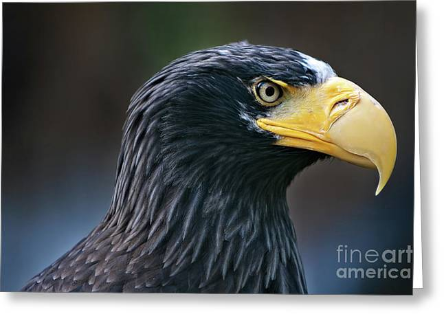 Tschechien Greeting Cards - Stellers Sea Eagle Greeting Card by Joerg Lingnau