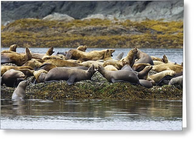 Sea Lions Greeting Cards - Stellers Sea Lion Eumetopias Jubatus Greeting Card by Konrad Wothe