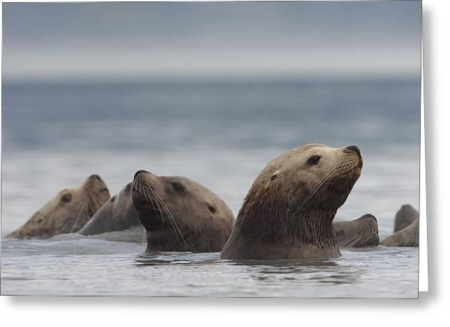 Sea Lions Greeting Cards - Stellers Sea Lion Eumetopias Jubatus Greeting Card by Michael Quinton