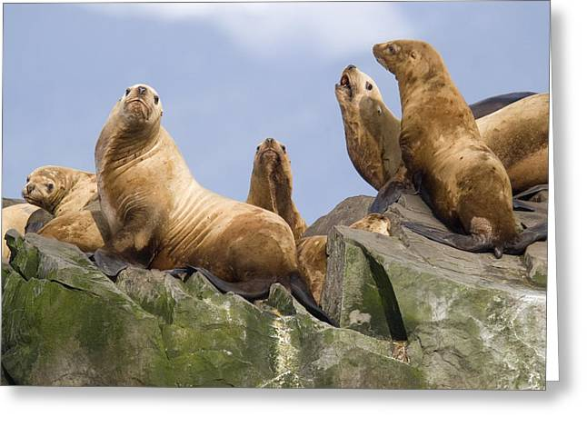 Sea Lions Greeting Cards - Stellers Sea Lion Group Sunning Greeting Card by Flip Nicklin