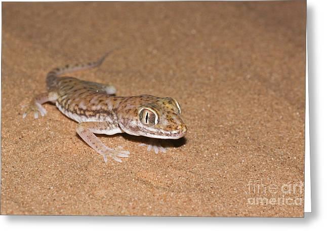 Mideast Greeting Cards - Stenodactylus petrii or dune gecko Greeting Card by Alon Meir