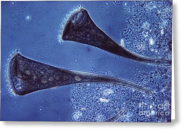 Protist Greeting Cards - Stentor Protist Greeting Card by Eric V. Grave