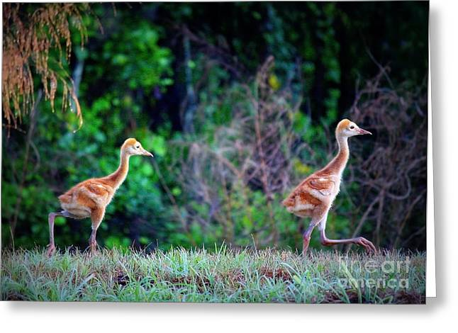 Sandhill Crane Chicks Greeting Cards - Stepping Out Greeting Card by Carol Groenen
