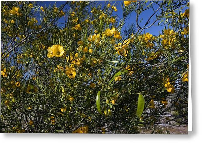 Cassia Greeting Cards - Sticky Cassia (senna Glutinosa) Greeting Card by Bob Gibbons