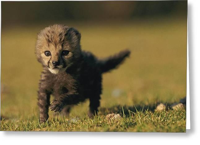 Cheetah Running Greeting Cards - Still Just A Prince, A Rare King Greeting Card by Chris Johns