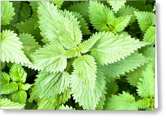 Useful Greeting Cards - Stinging nettles Greeting Card by Tom Gowanlock