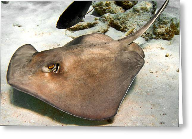 Southern Stingrays Greeting Cards - Stingray And Jack Fish Greeting Card by Andrew Kubica