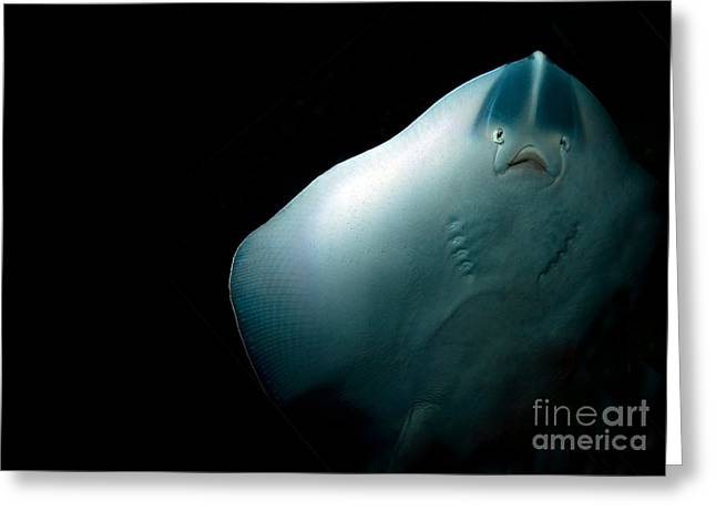 Barriers Greeting Cards - Stingray Greeting Card by Jane Rix