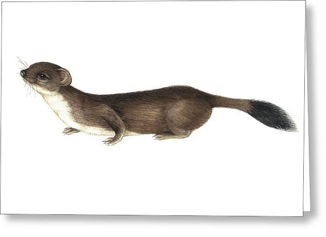 Biology Greeting Cards - Stoat, Artwork Greeting Card by Lizzie Harper