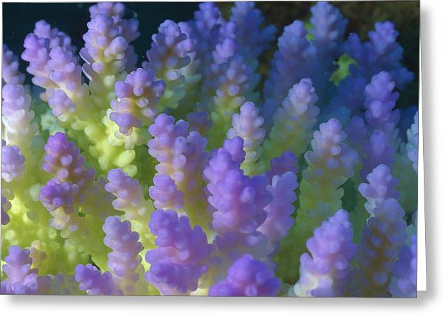 Ai Greeting Cards - Stony Coral Acropora Sp Bleached Greeting Card by Dr. David Wachenfeld