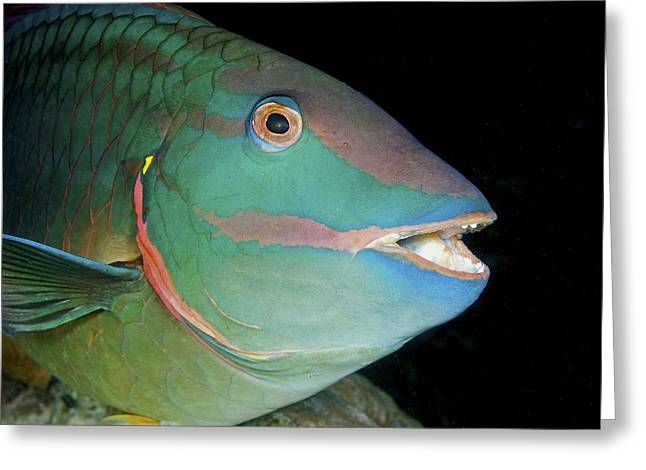 Stoplight Greeting Cards - Stoplight Parrotfish Greeting Card by Clay Coleman