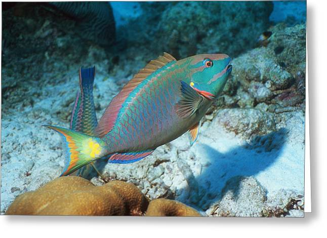Stoplight Greeting Cards - Stoplight Parrotfish Greeting Card by Georgette Douwma