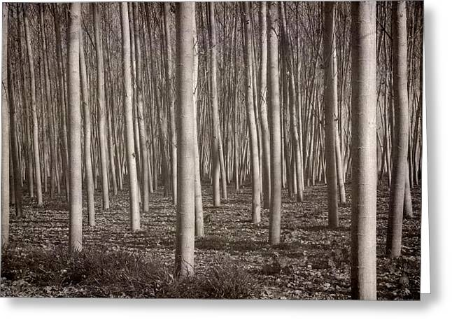 Lanscape Greeting Cards - Straight trees Greeting Card by Guido Montanes Castillo
