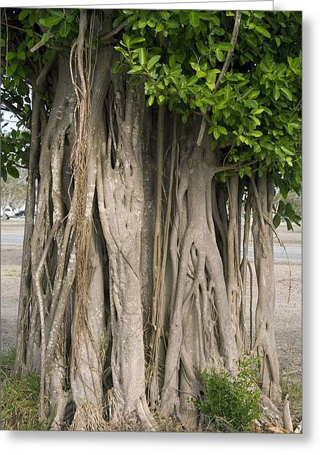 Epiphyte Greeting Cards - Strangler Fig (ficus Aurea) Greeting Card by Bob Gibbons