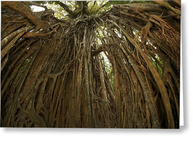 Tree Roots Photographs Greeting Cards - Strangler Fig Tree, Ficus Virens, Known Greeting Card by Tim Laman