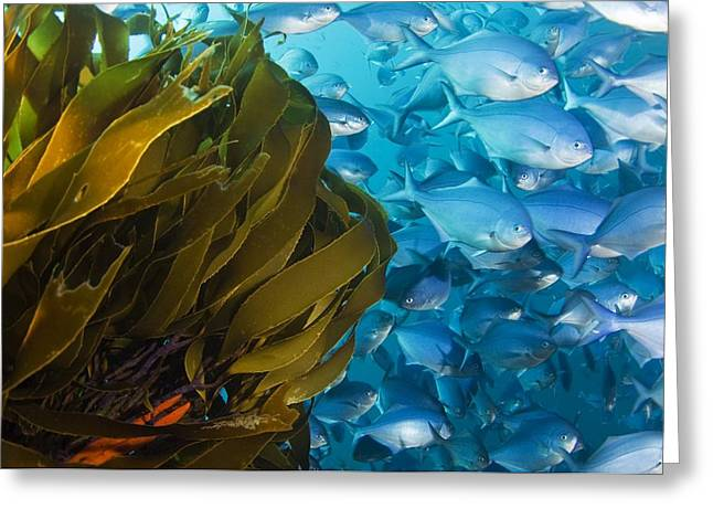 Straps Greeting Cards - Strap Kelp And Blue Maomao Greeting Card by Matthew Oldfield