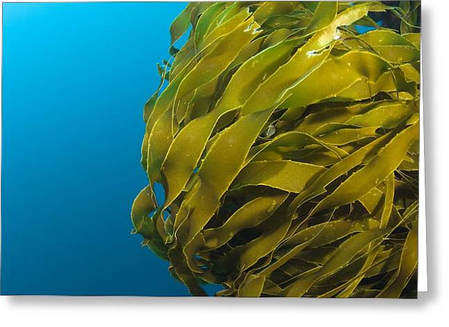Kelp Forest Greeting Cards - Strap Kelp Greeting Card by Matthew Oldfield
