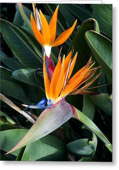 Regina Greeting Cards - Strelitzia reginae Greeting Card by Fabrizio Troiani