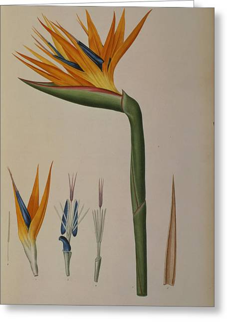 African Flower Greeting Cards - Strelitzia Reginae Greeting Card by Pierre Joseph Redoute