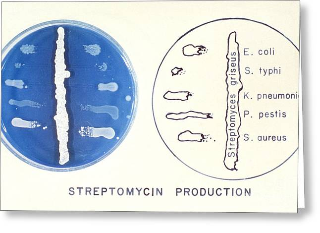 Streptomycin Greeting Cards - Streptomyces Greeting Card by Science Source