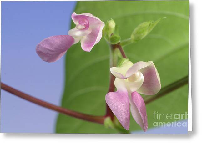 Green Beans Photographs Greeting Cards - String Bean Flower Greeting Card by Ted Kinsman