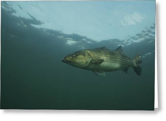 Atlantic Ocean Greeting Cards - Striped Bass Greeting Card by Bill Curtsinger