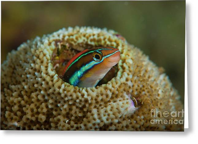 Emergence Greeting Cards - Striped Blenny, Raja Ampat, Indonesia Greeting Card by Beverly Factor