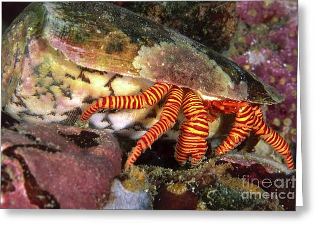 Undersea Photography Greeting Cards - Striped Hermit Crab In Cone Shell Greeting Card by Beverly Factor