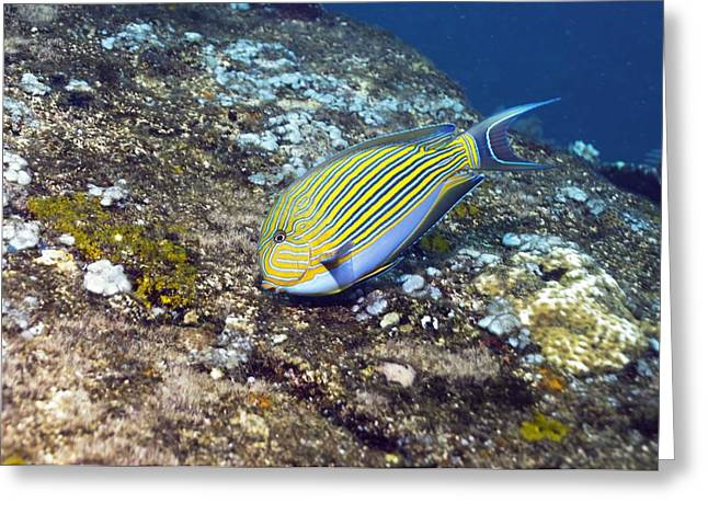Surgeonfish Greeting Cards - Striped Surgeonfish Greeting Card by Georgette Douwma