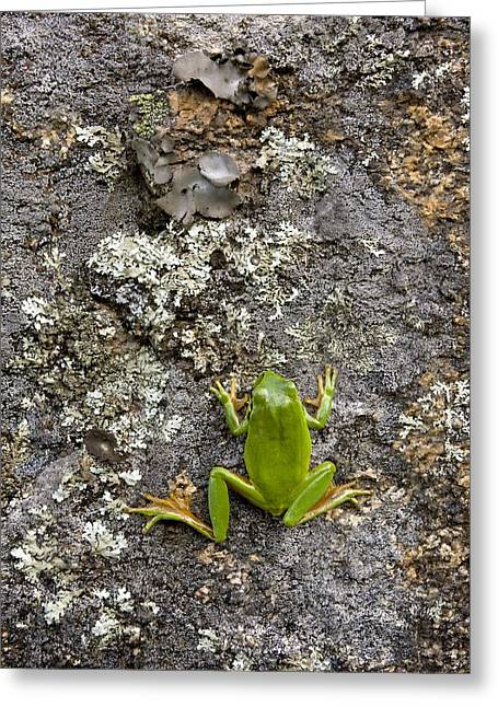 Hylas Greeting Cards - Stripeless Tree Frog Greeting Card by Bob Gibbons