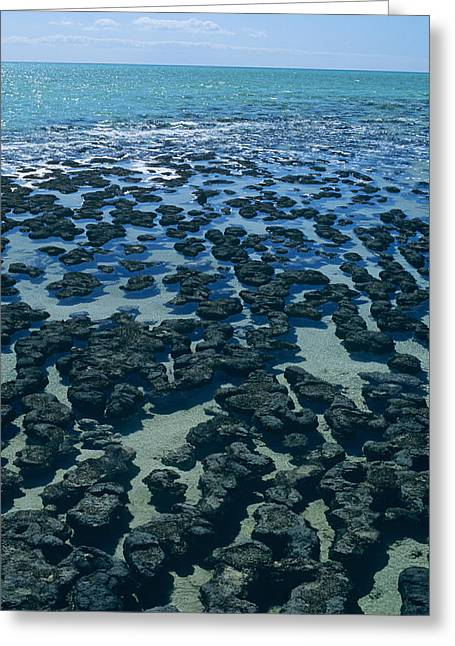 Shark Fossil Greeting Cards - Stromatolites Greeting Card by Dirk Wiersma