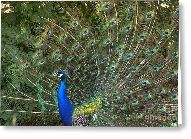 Strutting His Stuff Greeting Card by Jeremy Linot