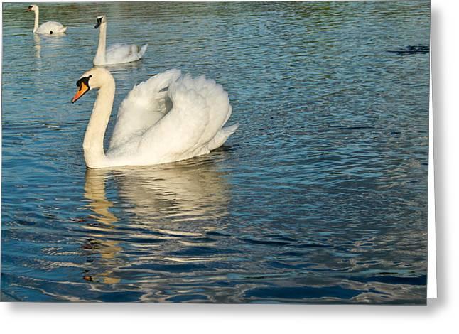 Struts Greeting Cards - Strutting Swan 1 Greeting Card by Douglas Barnett