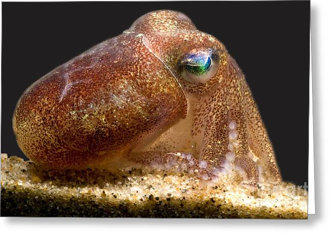 Bobtails Greeting Cards - Stubby Squid Greeting Card by Dante Fenolio