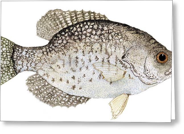 Thom Glace Greeting Cards - Study of a Black Crappie Greeting Card by Thom Glace