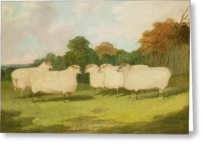 Wooly Greeting Cards - Study of Sheep in a Landscape   Greeting Card by Richard Whitford